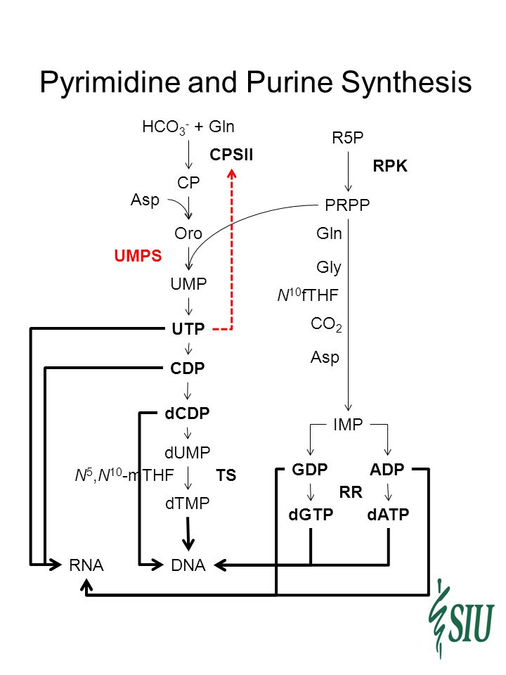 Pyrimidine and Purine Synthesis