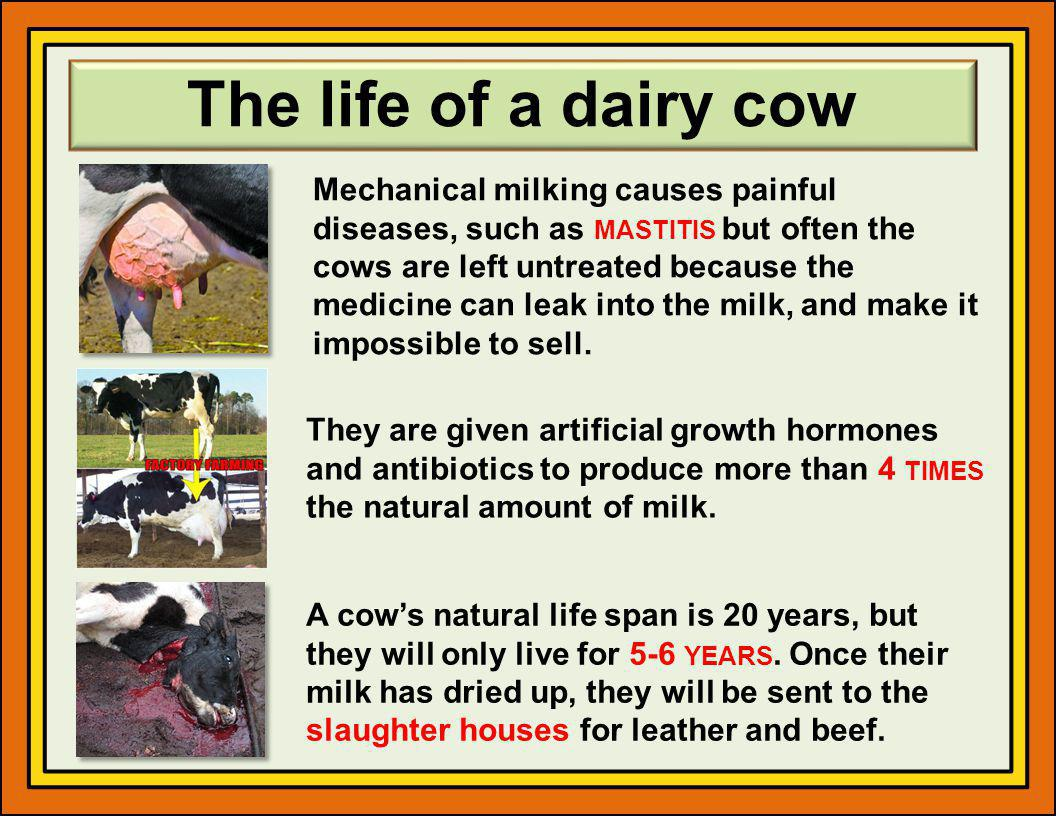 The life of a dairy cow