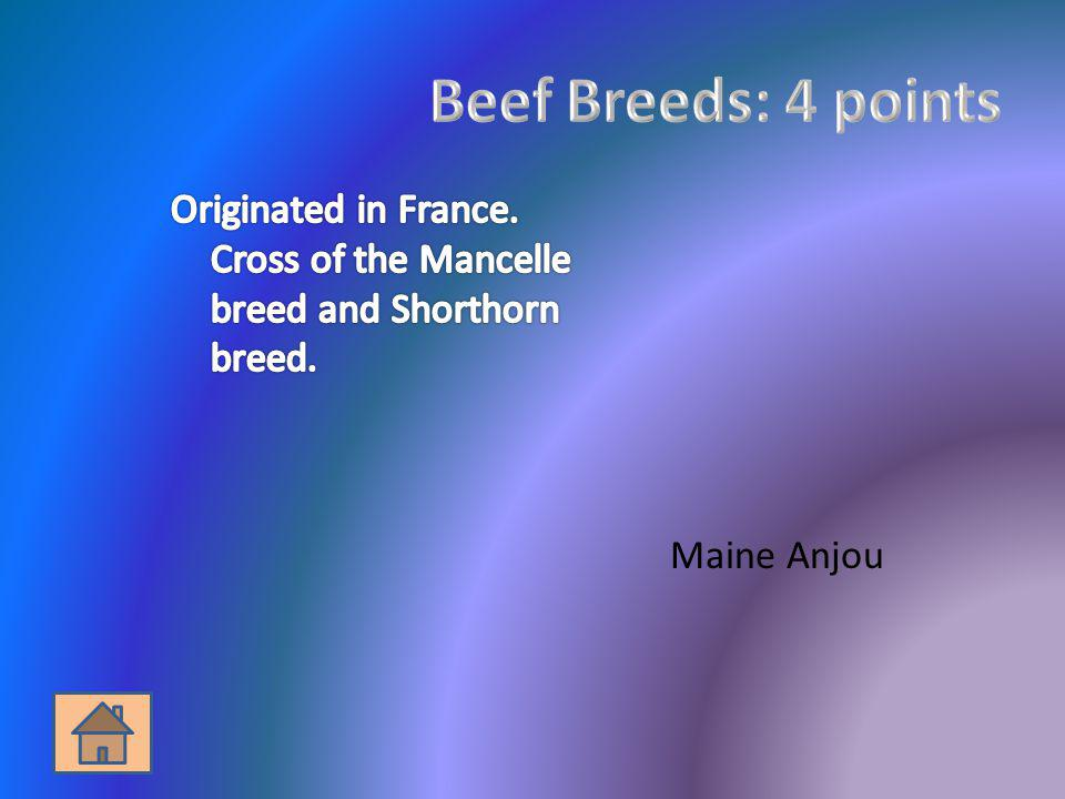Beef Breeds: 4 points Originated in France. Cross of the Mancelle breed and Shorthorn breed.