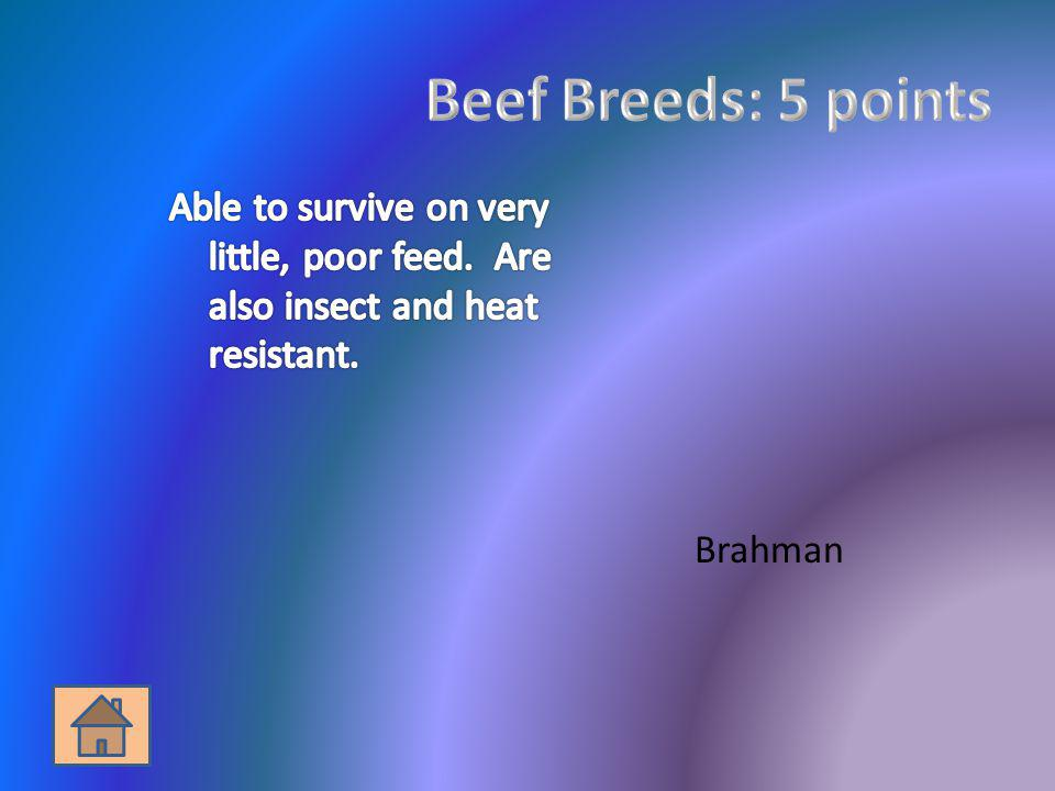 Beef Breeds: 5 points Able to survive on very little, poor feed. Are also insect and heat resistant.