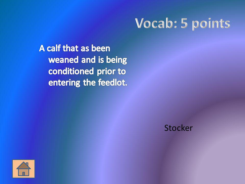 Vocab: 5 points A calf that as been weaned and is being conditioned prior to entering the feedlot.
