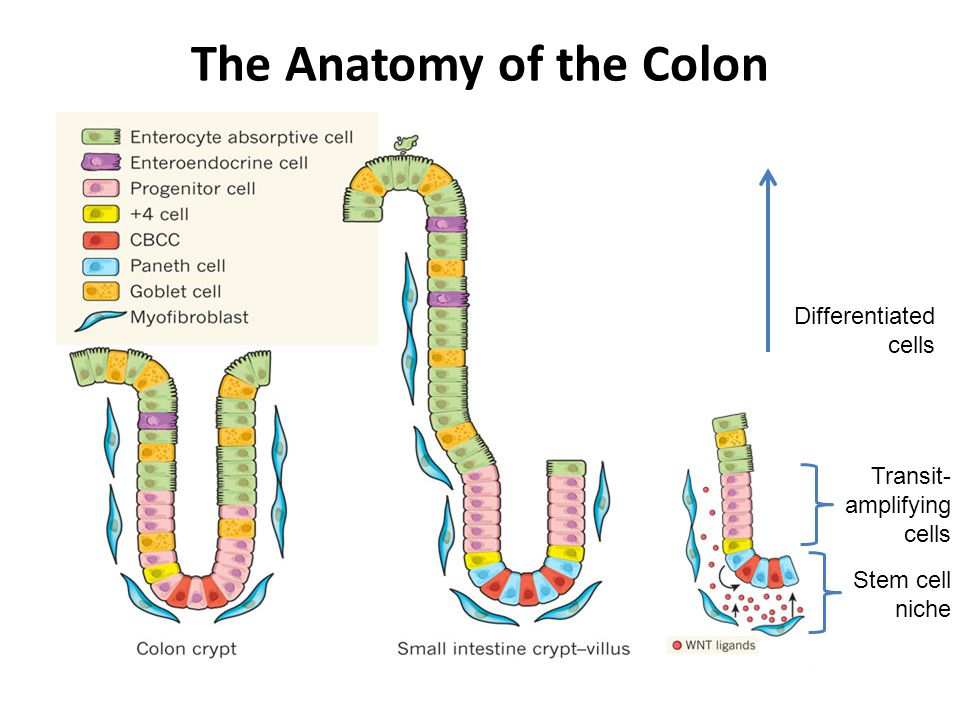 The Anatomy of the Colon