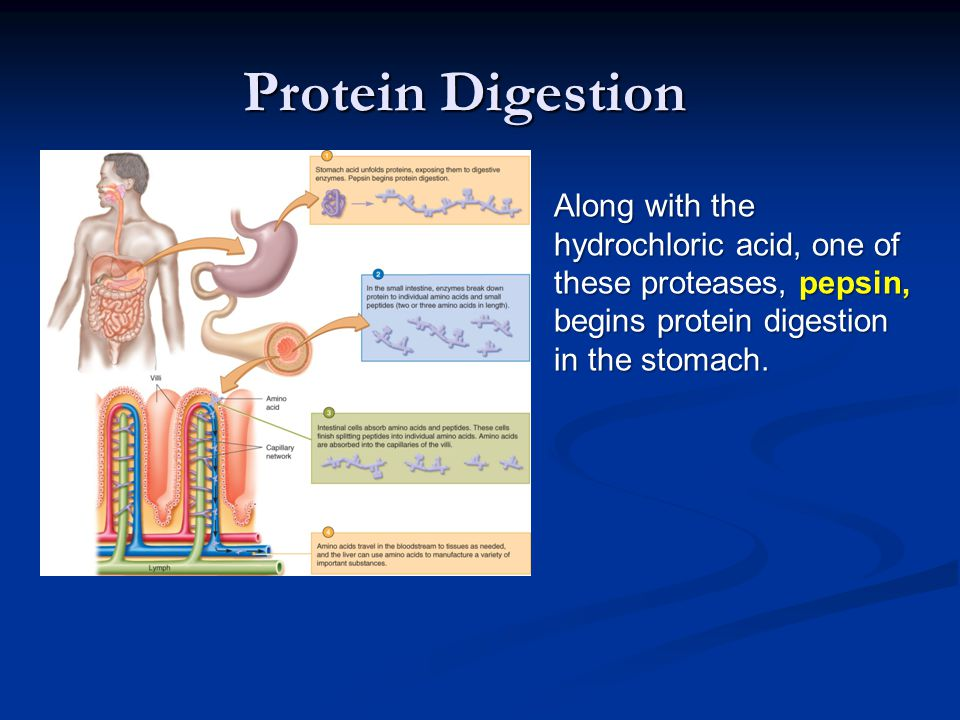 Protein Digestion Along with the hydrochloric acid, one of these proteases, pepsin, begins protein digestion in the stomach.
