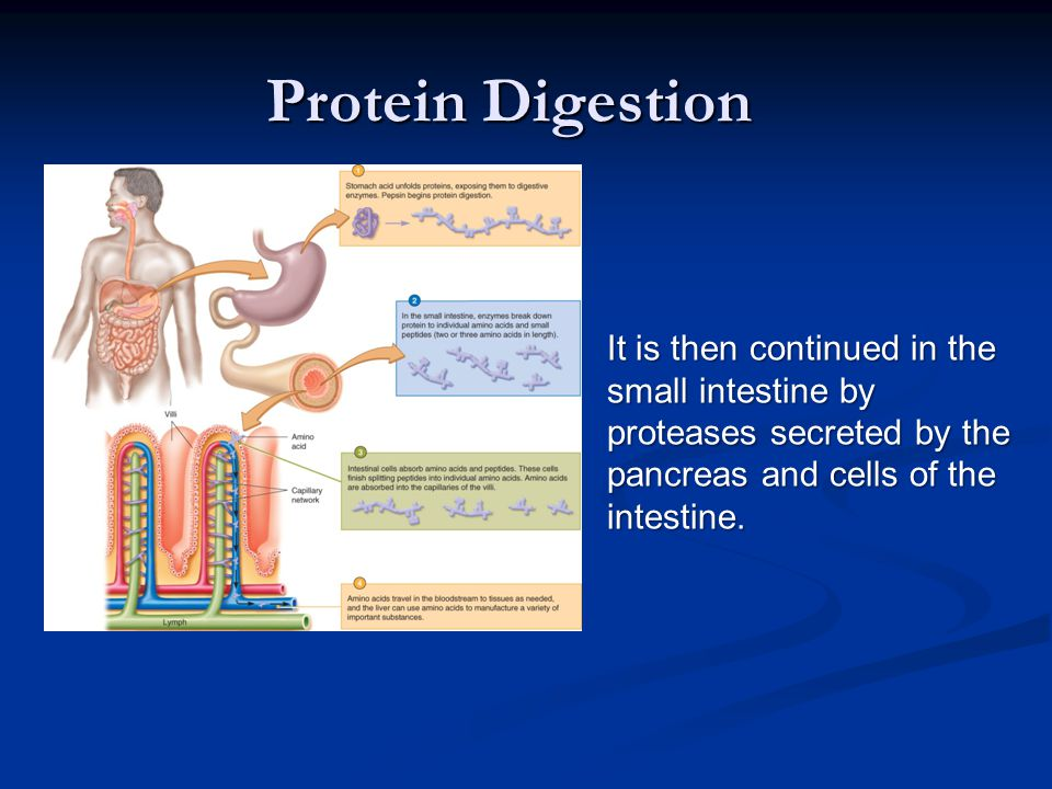 Protein Digestion It is then continued in the small intestine by proteases secreted by the pancreas and cells of the intestine.