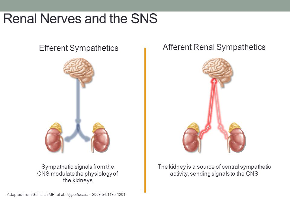 Renal Nerves and the SNS