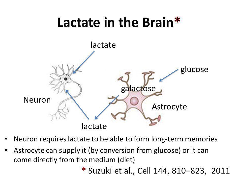 Lactate in the Brain* lactate glucose galactose Neuron Astrocyte