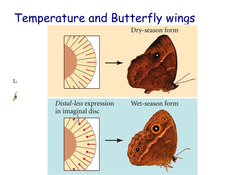 Temperature and Butterfly wings