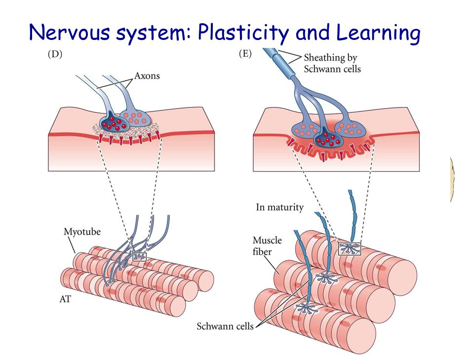 Nervous system: Plasticity and Learning