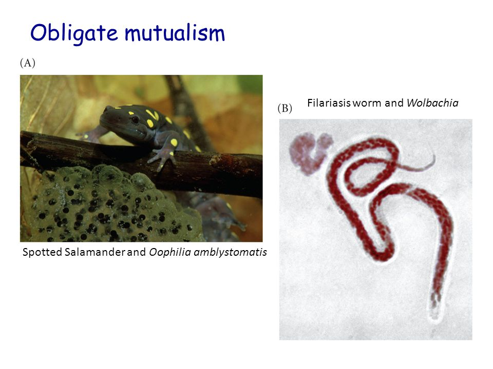 Obligate mutualism Filariasis worm and Wolbachia