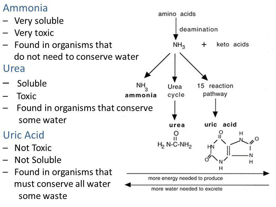 Soluble Ammonia Urea Uric Acid Very soluble Very toxic