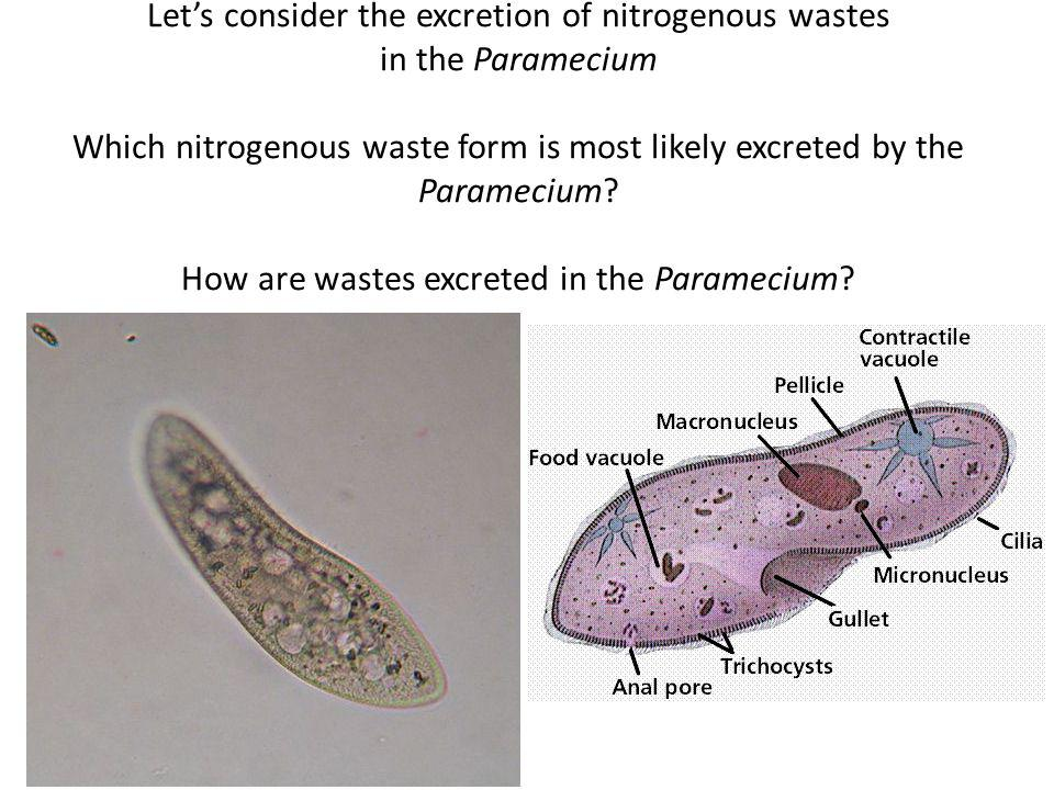 Let's consider the excretion of nitrogenous wastes in the Paramecium Which nitrogenous waste form is most likely excreted by the Paramecium.