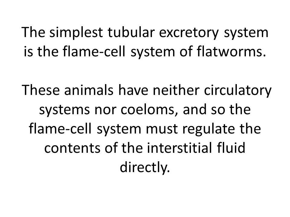 The simplest tubular excretory system is the flame-cell system of flatworms.
