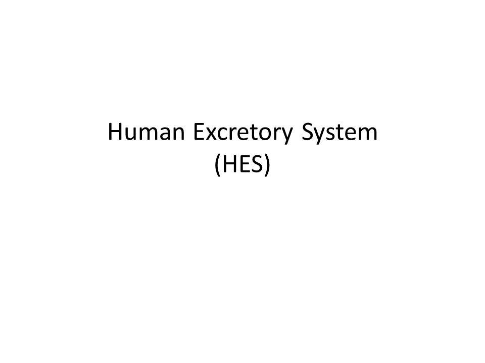 Human Excretory System (HES)