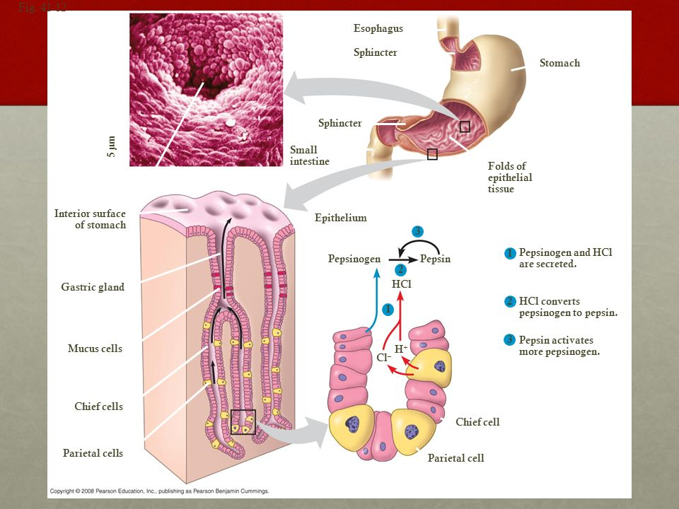 Figure 41.12 The stomach and its secretions