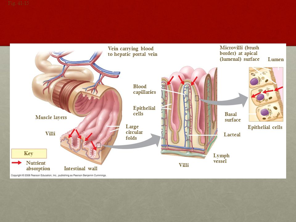 Vein carrying blood to hepatic portal vein