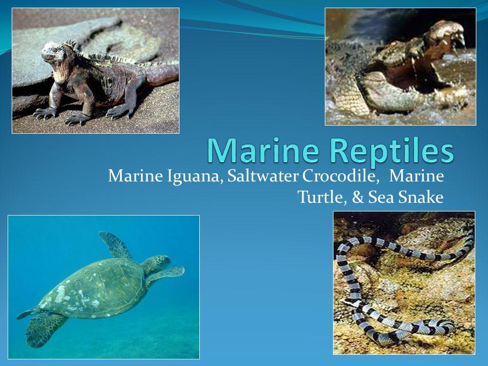 Marine Iguana, Saltwater Crocodile, Marine Turtle, & Sea Snake