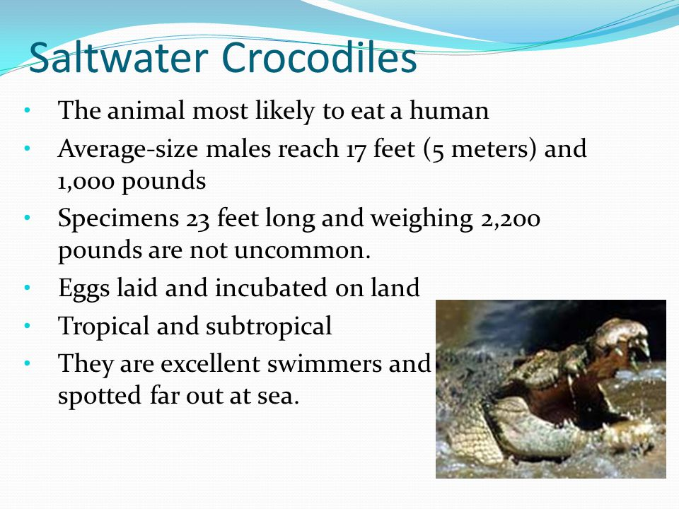 Saltwater Crocodiles The animal most likely to eat a human