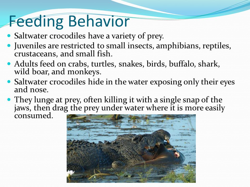 Feeding Behavior Saltwater crocodiles have a variety of prey.