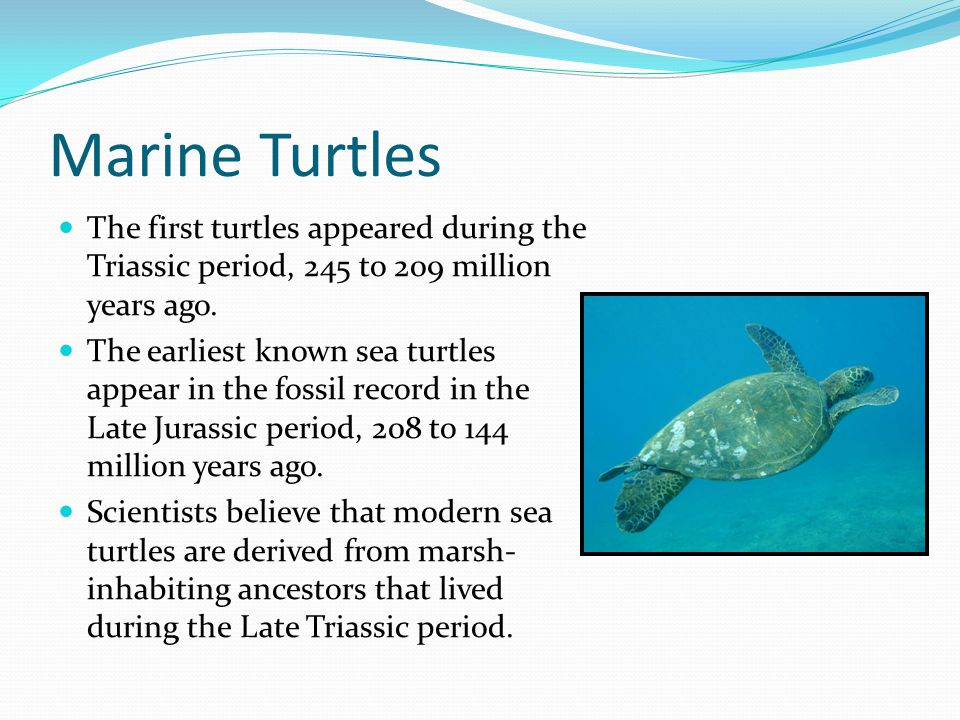 Marine Turtles The first turtles appeared during the Triassic period, 245 to 209 million years ago.