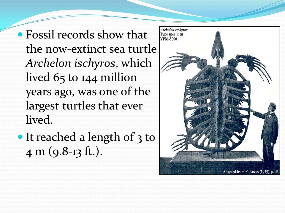 Fossil records show that the now-extinct sea turtle Archelon ischyros, which lived 65 to 144 million years ago, was one of the largest turtles that ever lived.