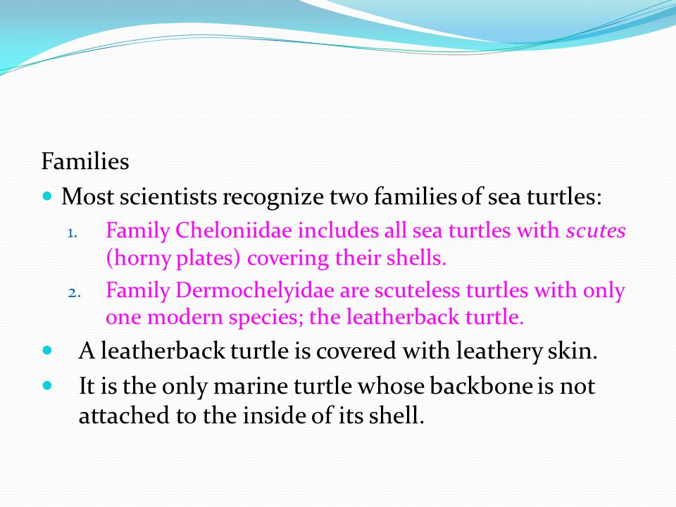 Most scientists recognize two families of sea turtles: