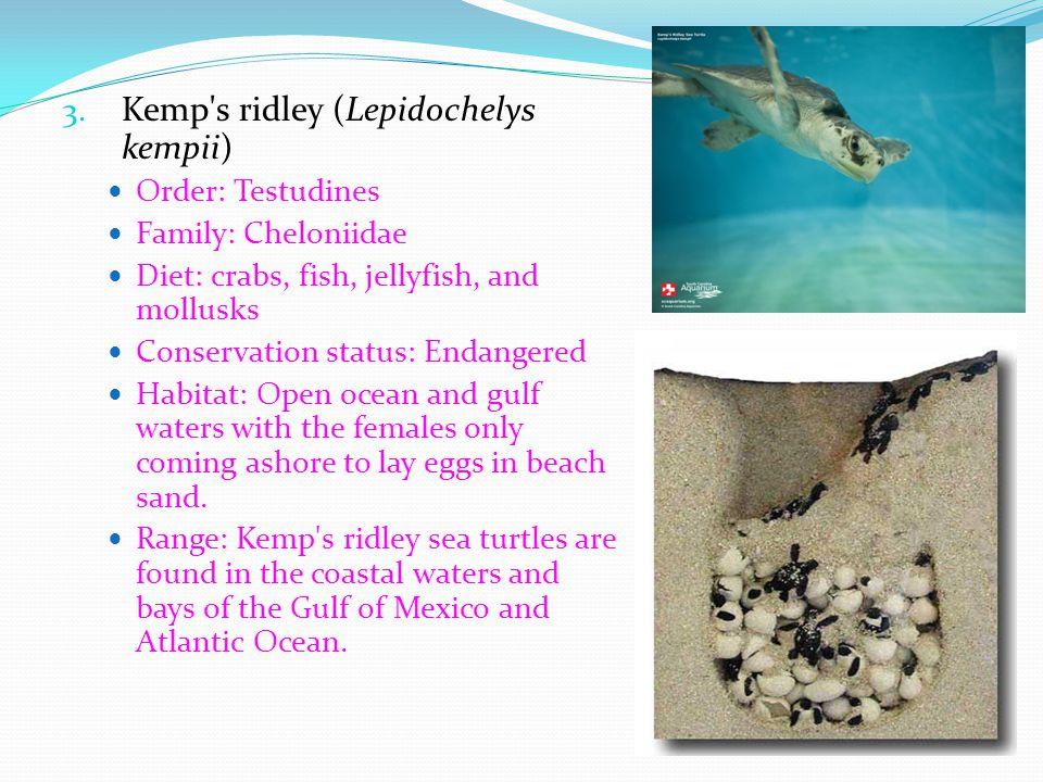 Kemp s ridley (Lepidochelys kempii)