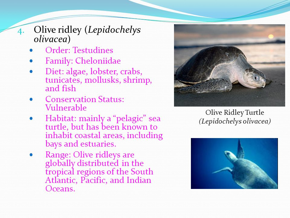 Olive Ridley Turtle (Lepidochelys olivacea)