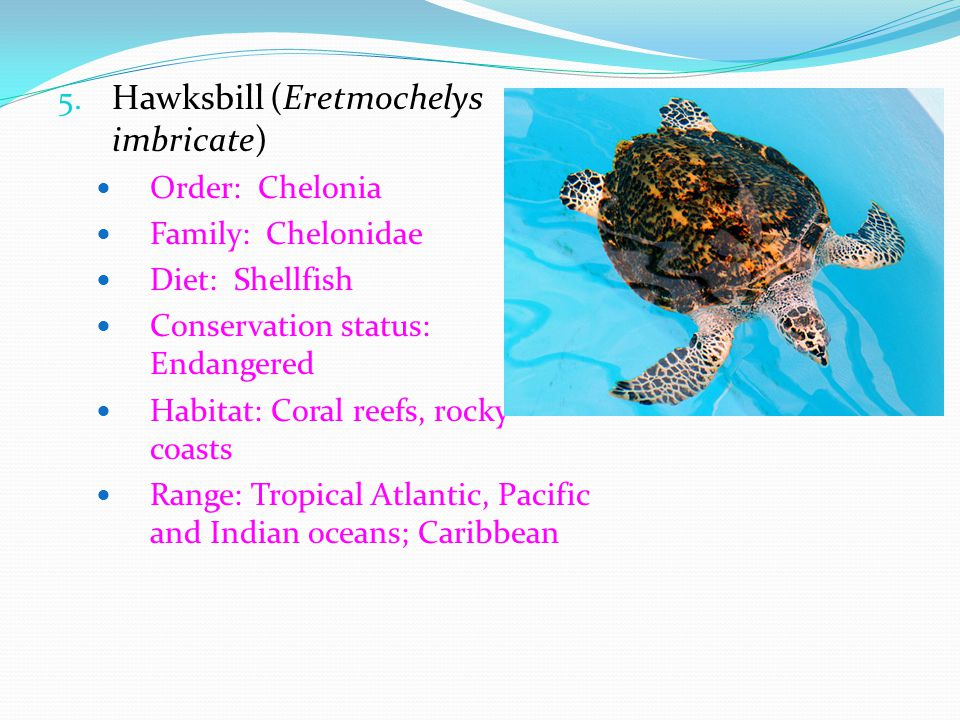 Hawksbill (Eretmochelys imbricate)