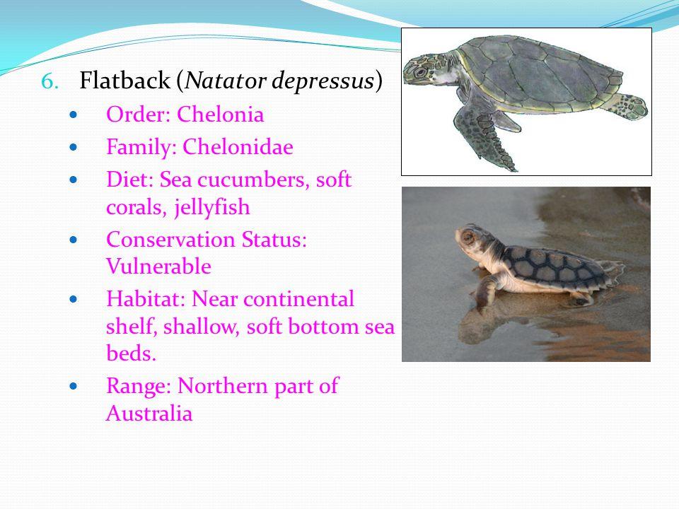 Flatback (Natator depressus)