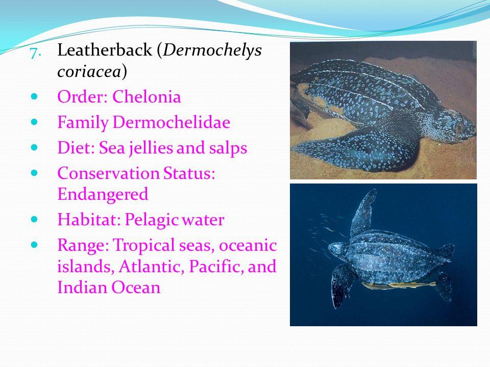 Leatherback (Dermochelys coriacea)