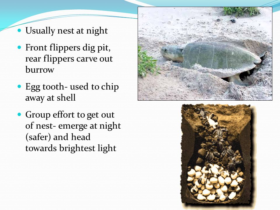 Usually nest at night Front flippers dig pit, rear flippers carve out burrow. Egg tooth- used to chip away at shell.