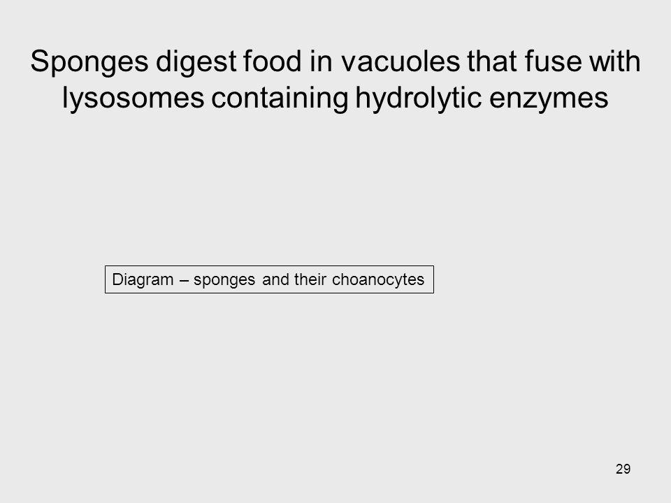 Sponges digest food in vacuoles that fuse with lysosomes containing hydrolytic enzymes