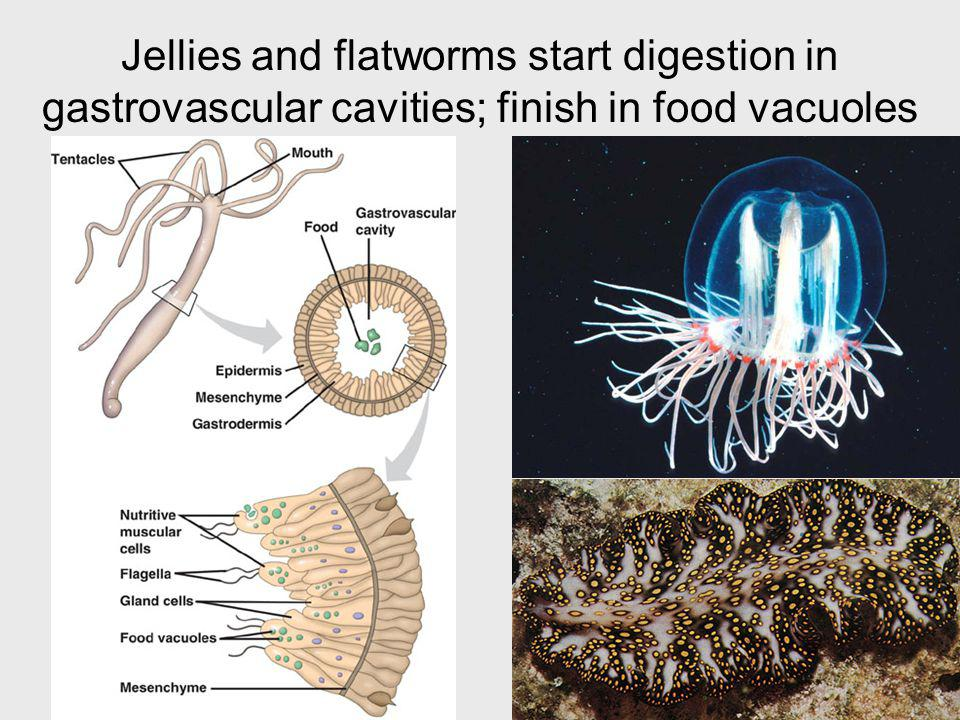 Jellies and flatworms start digestion in gastrovascular cavities; finish in food vacuoles