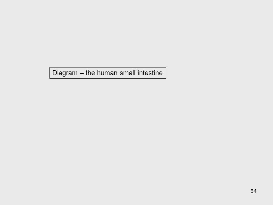 Diagram – the human small intestine