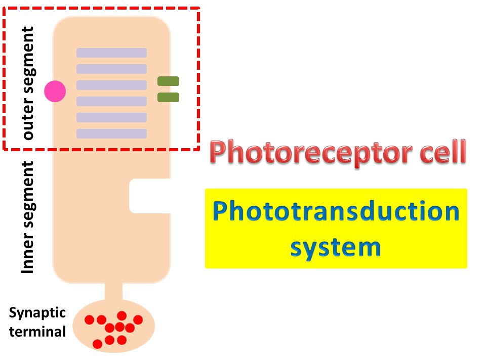 Photoreceptor cell Phototransduction system outer segment