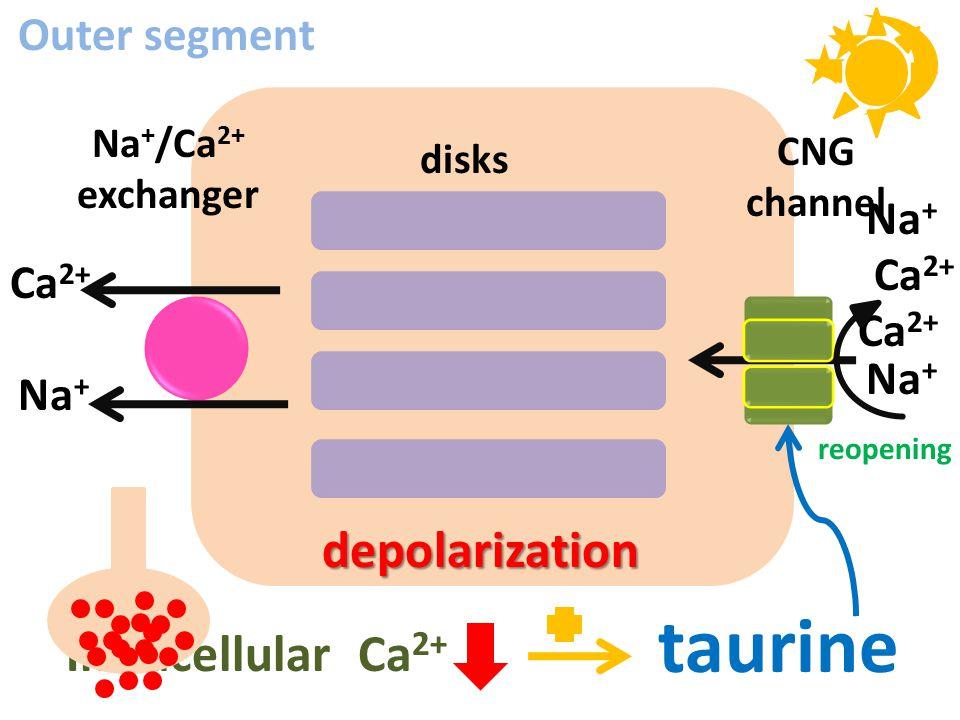 taurine depolarization Intracellular Ca2+ Outer segment Na+ Ca2+ Ca2+