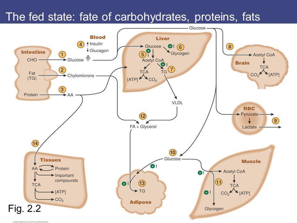 The fed state: fate of carbohydrates, proteins, fats