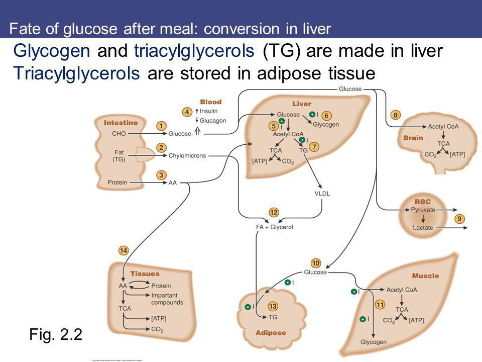 Fate of glucose after meal: conversion in liver