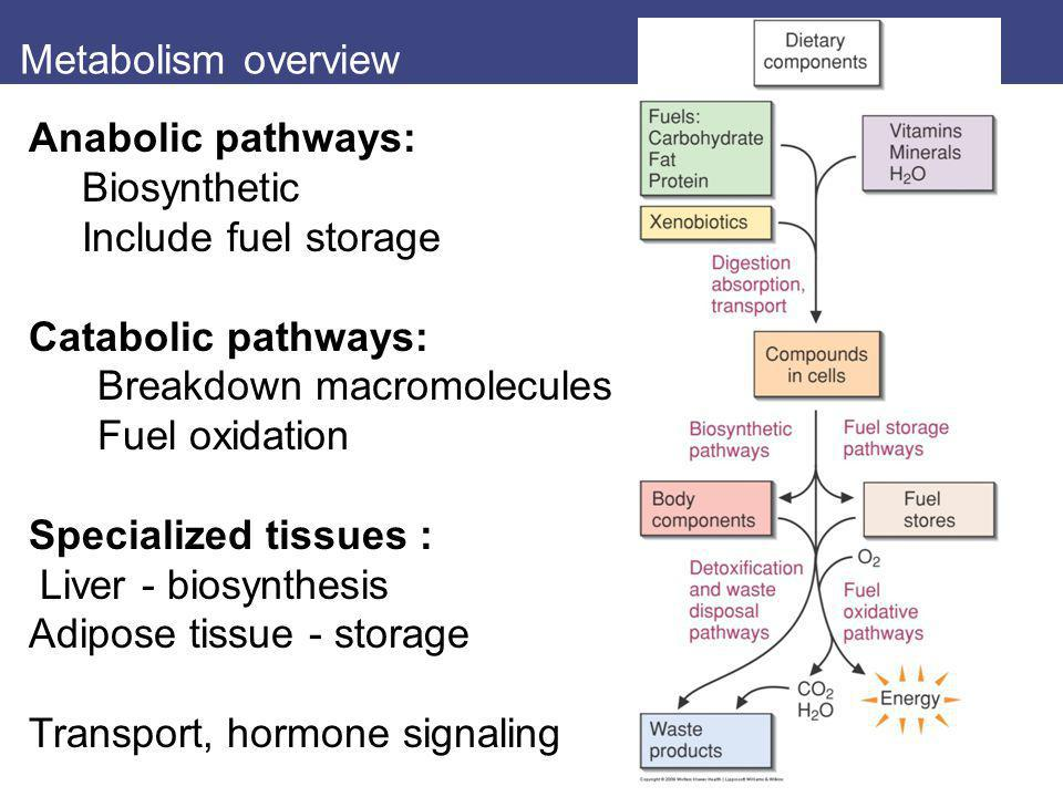 Metabolism overview Anabolic pathways: Biosynthetic. Include fuel storage. Catabolic pathways: Breakdown macromolecules.
