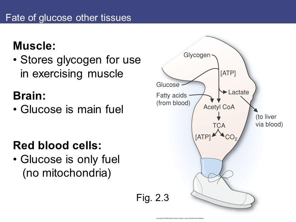 Fate of glucose other tissues