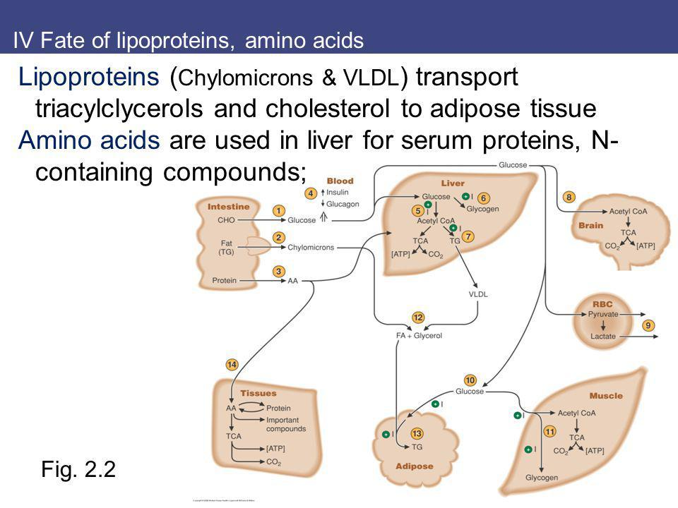 IV Fate of lipoproteins, amino acids