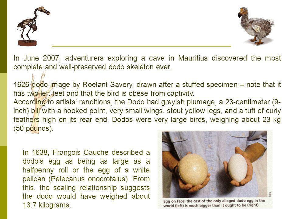 In June 2007, adventurers exploring a cave in Mauritius discovered the most complete and well-preserved dodo skeleton ever.