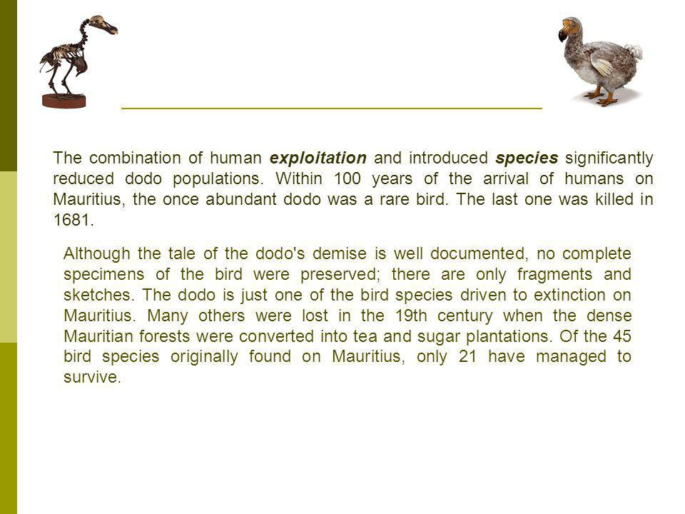 The combination of human exploitation and introduced species significantly reduced dodo populations. Within 100 years of the arrival of humans on Mauritius, the once abundant dodo was a rare bird. The last one was killed in 1681.
