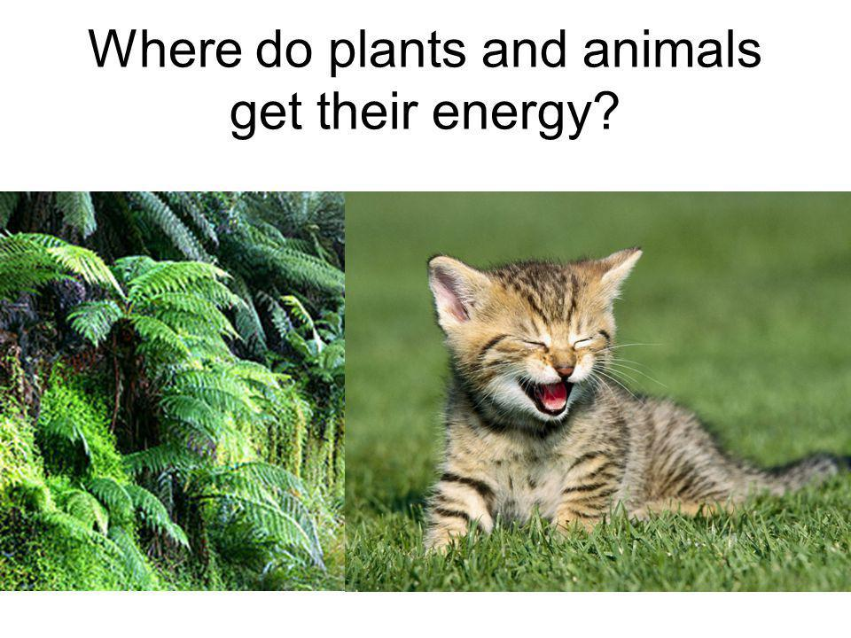 Where do plants and animals get their energy