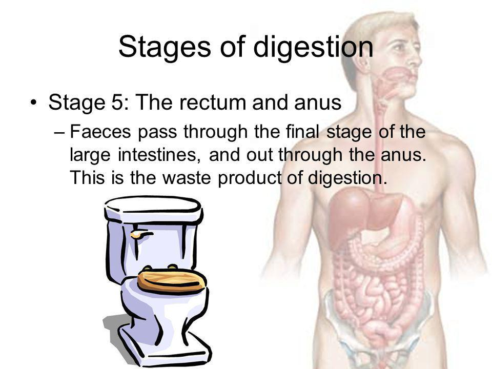 Stages of digestion Stage 5: The rectum and anus