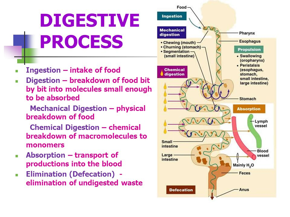DIGESTIVE PROCESS Ingestion – intake of food