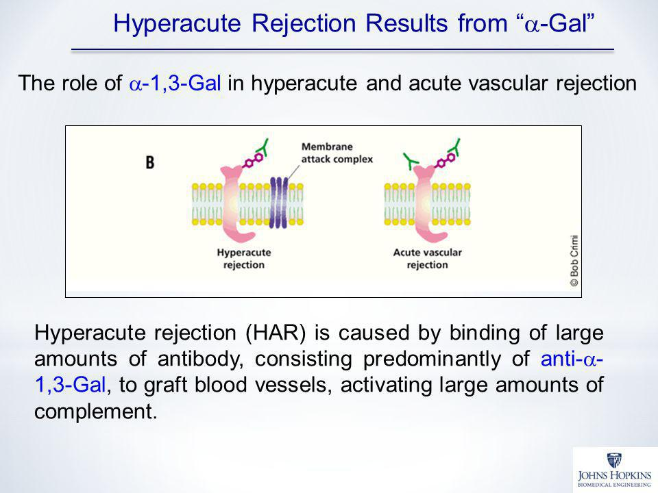 Hyperacute Rejection Results from a-Gal