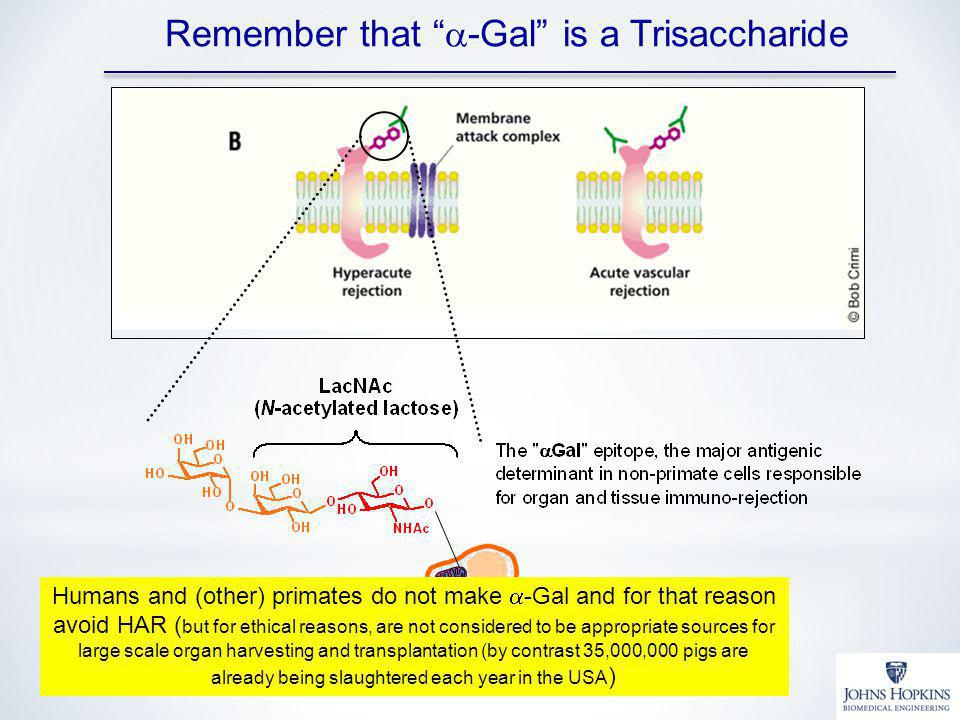Remember that a-Gal is a Trisaccharide