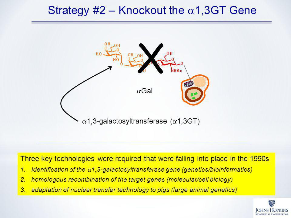 X Strategy #2 – Knockout the a1,3GT Gene aGal