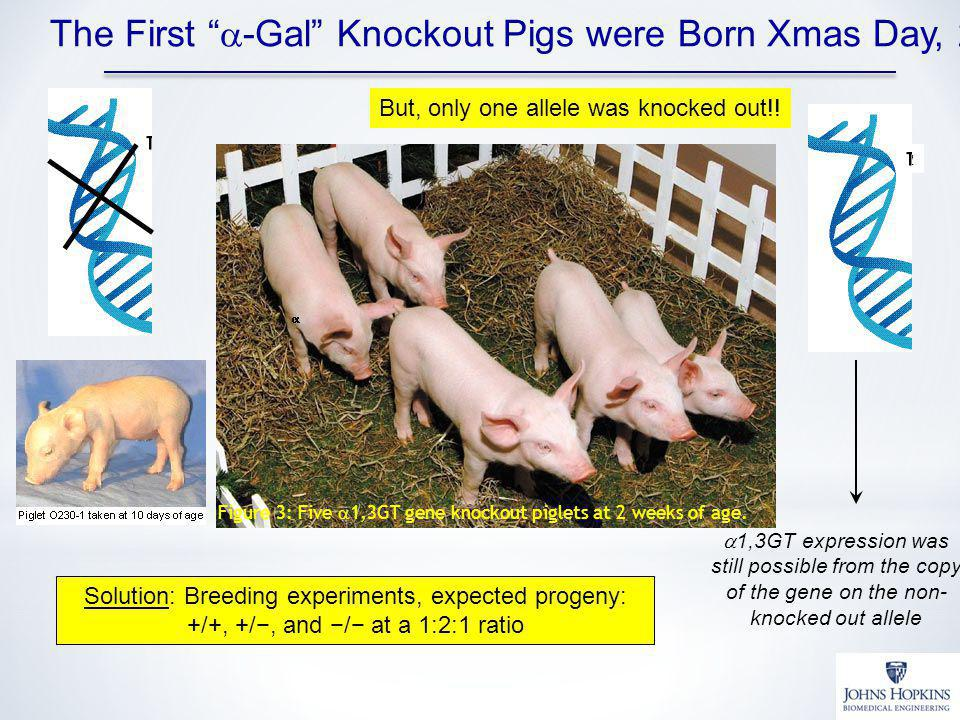 The First a-Gal Knockout Pigs were Born Xmas Day, 2002